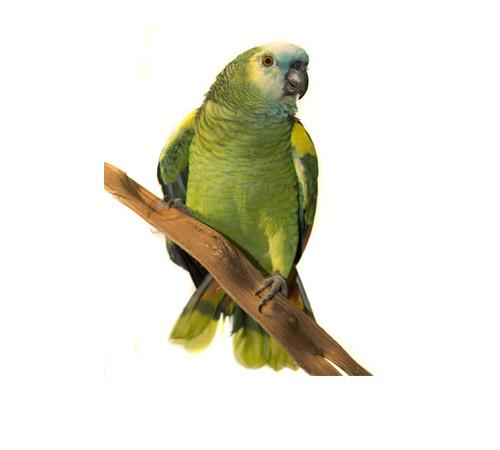 Loro Amazonico
