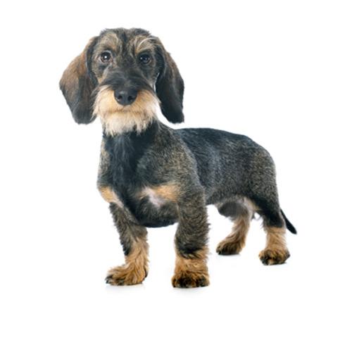 Dachshund Miniatura Pelo Duro - Tienda de mascotas en Santiago - Pet Go c15313569176
