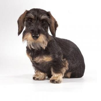 dachshund pelo duro