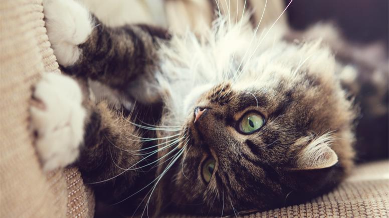 ¿Por qué los gatos rasguñan los muebles?