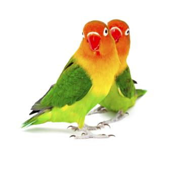 Pájaros inseparables