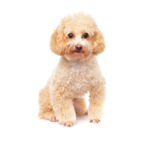 295689531755724998 additionally 38700 Cute Red Toy Poodle Puppy And Rabbit furthermore Watch besides 58499 in addition Stock Photo Toy Poodle. on toypoodle
