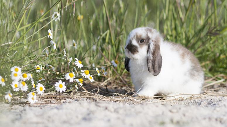 Cuidados del conejo belier