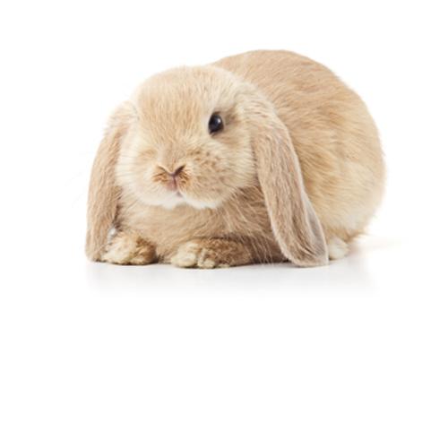 Conejo Orejas Caídas